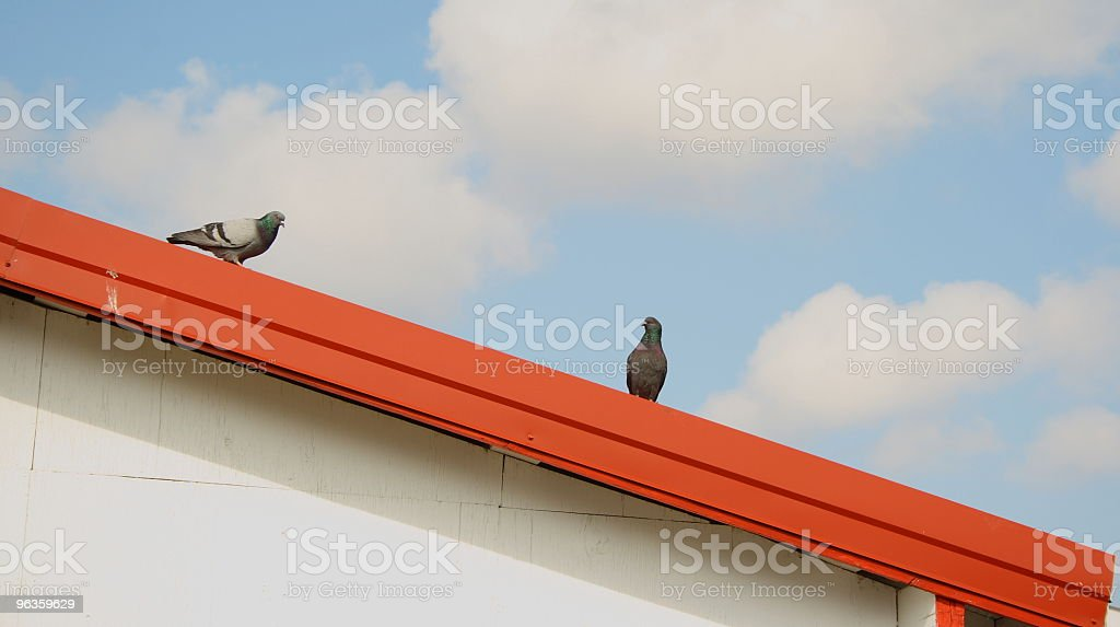 two pigeons stock photo