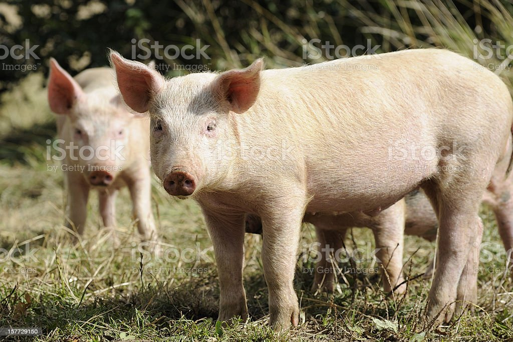 Two piglets stock photo