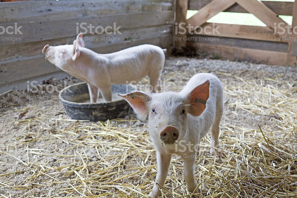 Two Piglets royalty-free stock photo
