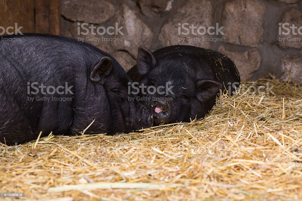 Two pigs in traditional farm stock photo