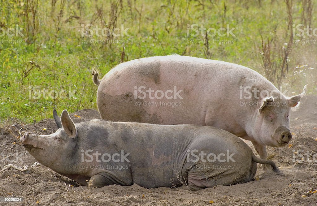 Two pigs laying in a dust royalty-free stock photo