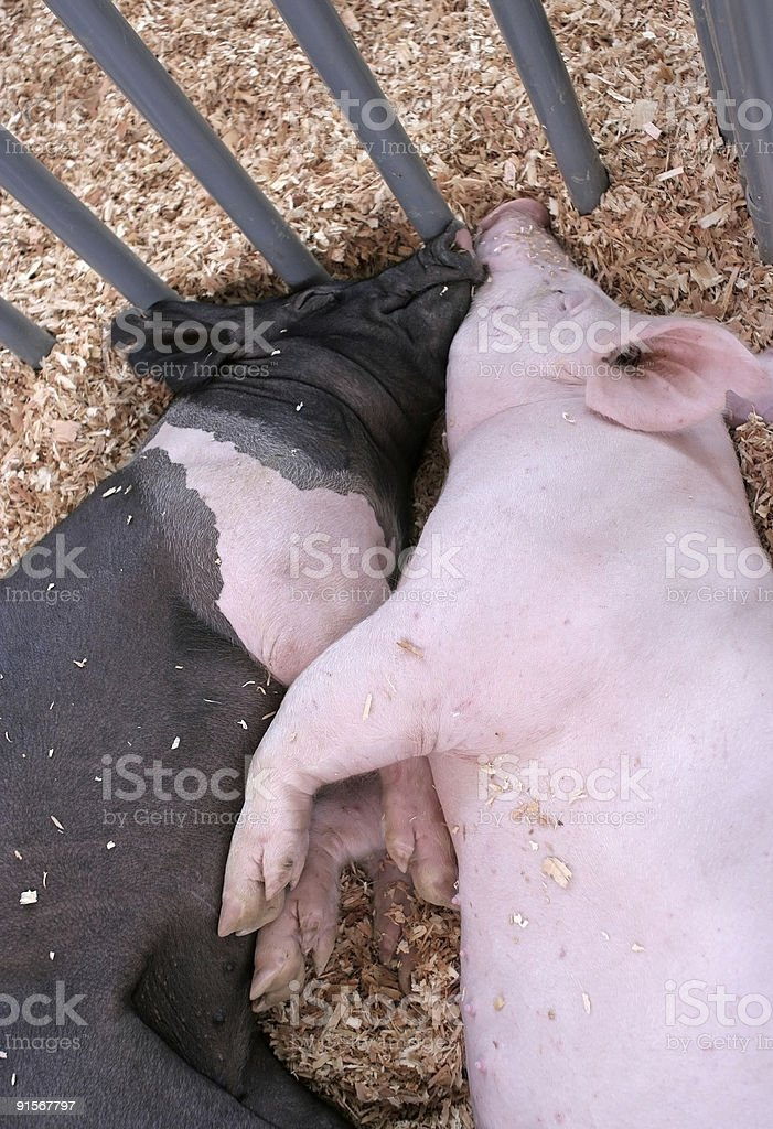 Two pigs royalty-free stock photo