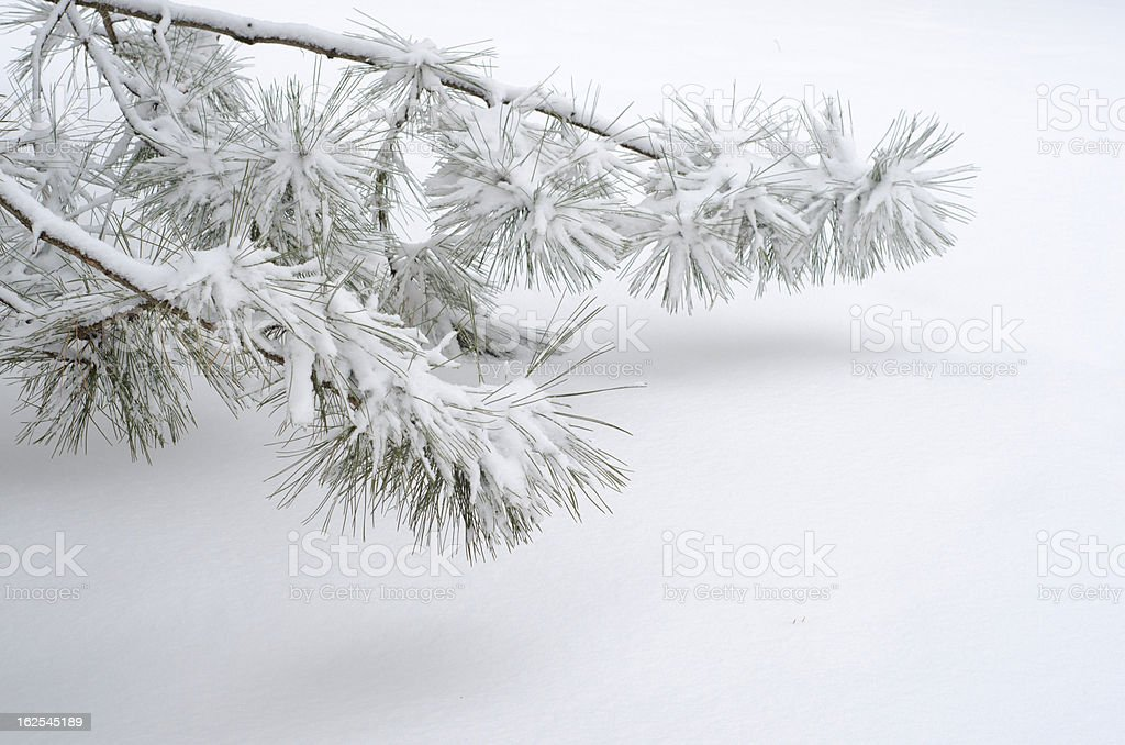 Two Pine Tree Boughs Flocked in Snow royalty-free stock photo