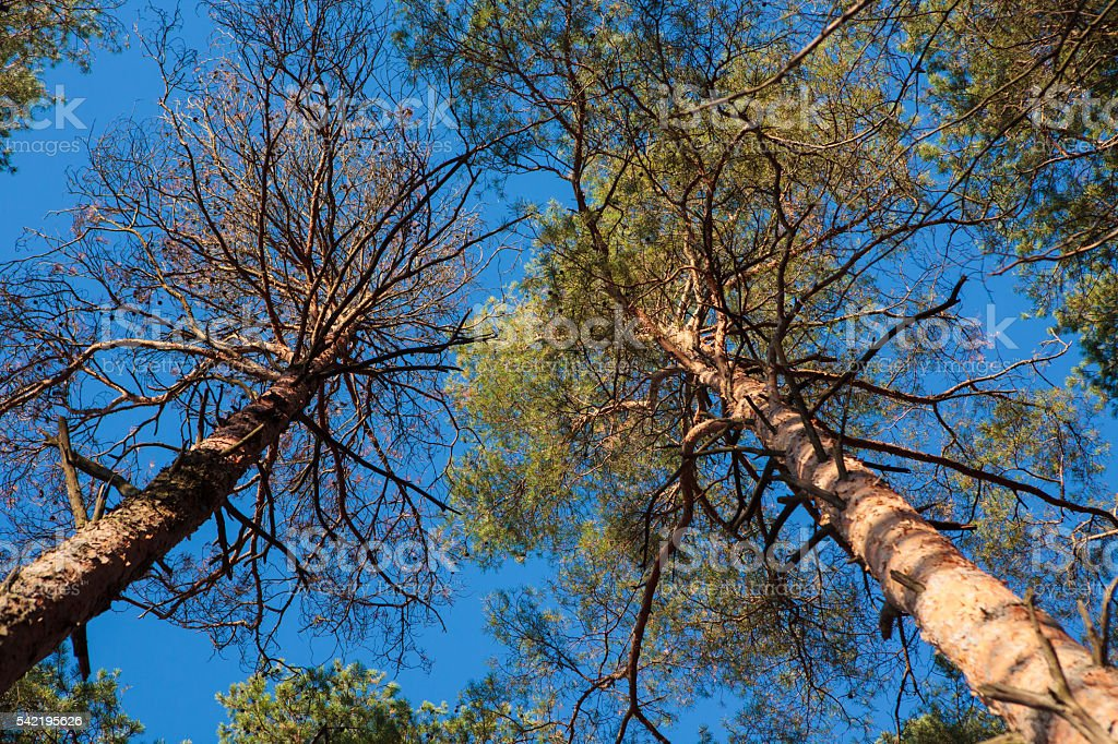 Two pine trees agains blue sky stock photo