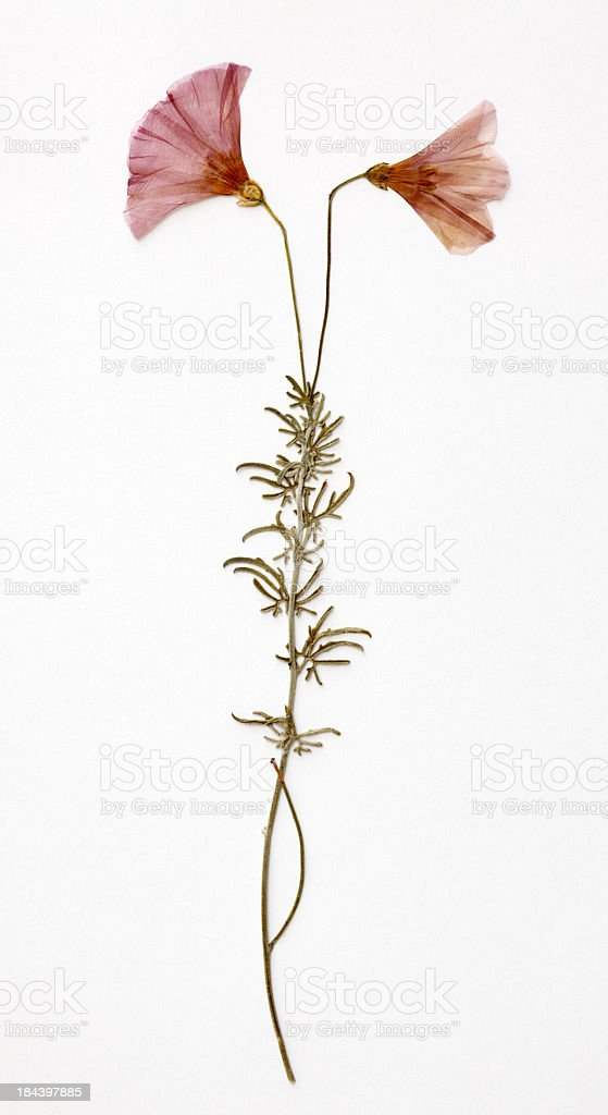 Two pink dried flowers on white background stock photo