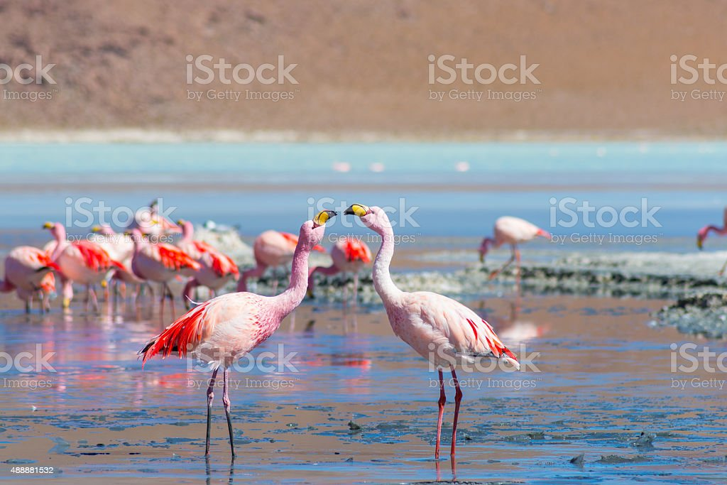 Two pink flamingos at 'Laguna Colorada' on the Bolivian Andes stock photo
