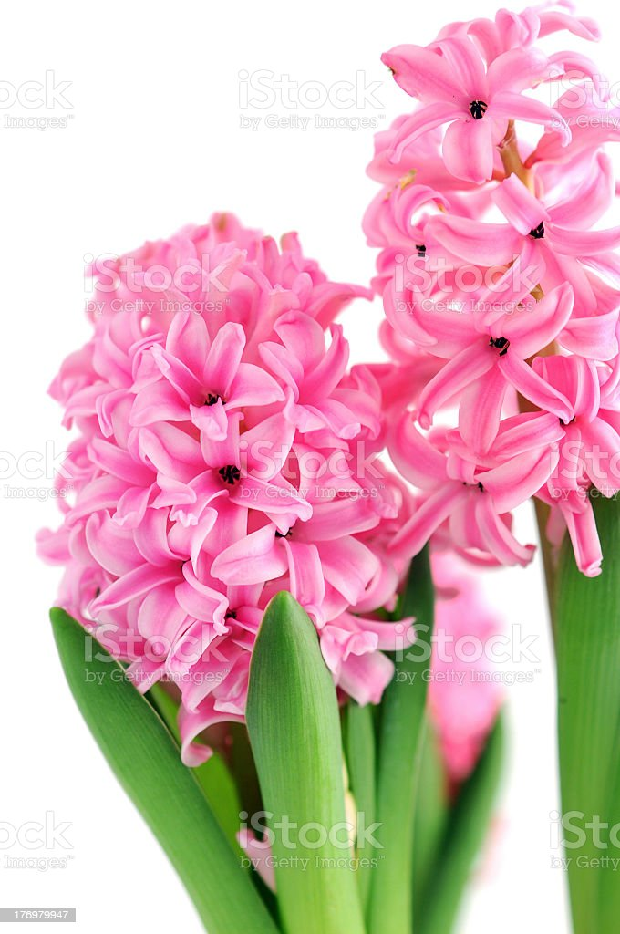 two pink Hyacinth on white background royalty-free stock photo