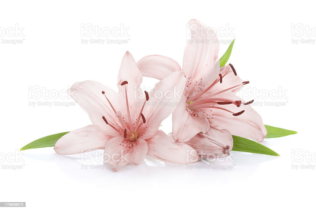 Two pink lily flowers stock photo