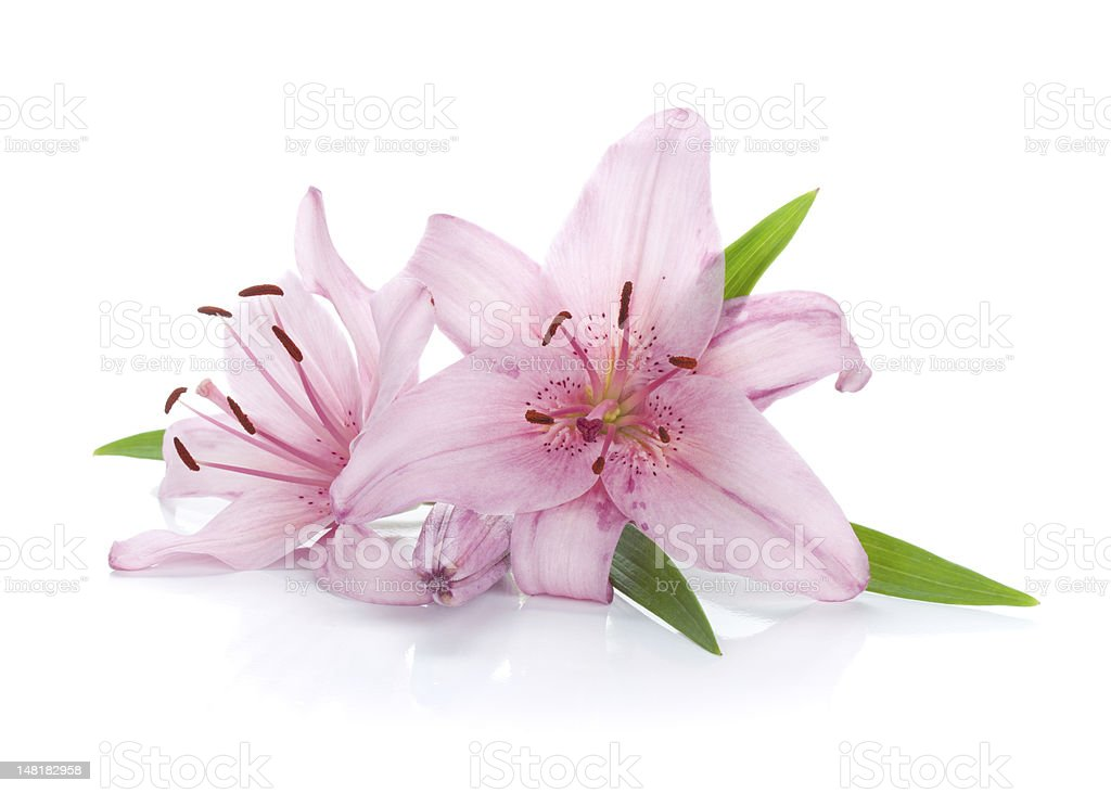 Two pink lily royalty-free stock photo