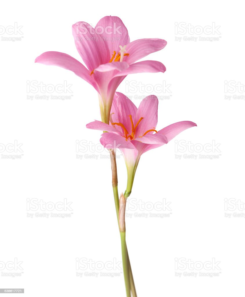 Two pink lily stock photo