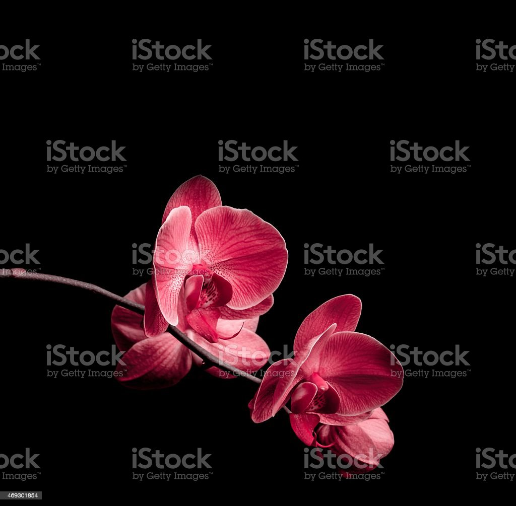 Two pink orchid blossoms on black background stock photo
