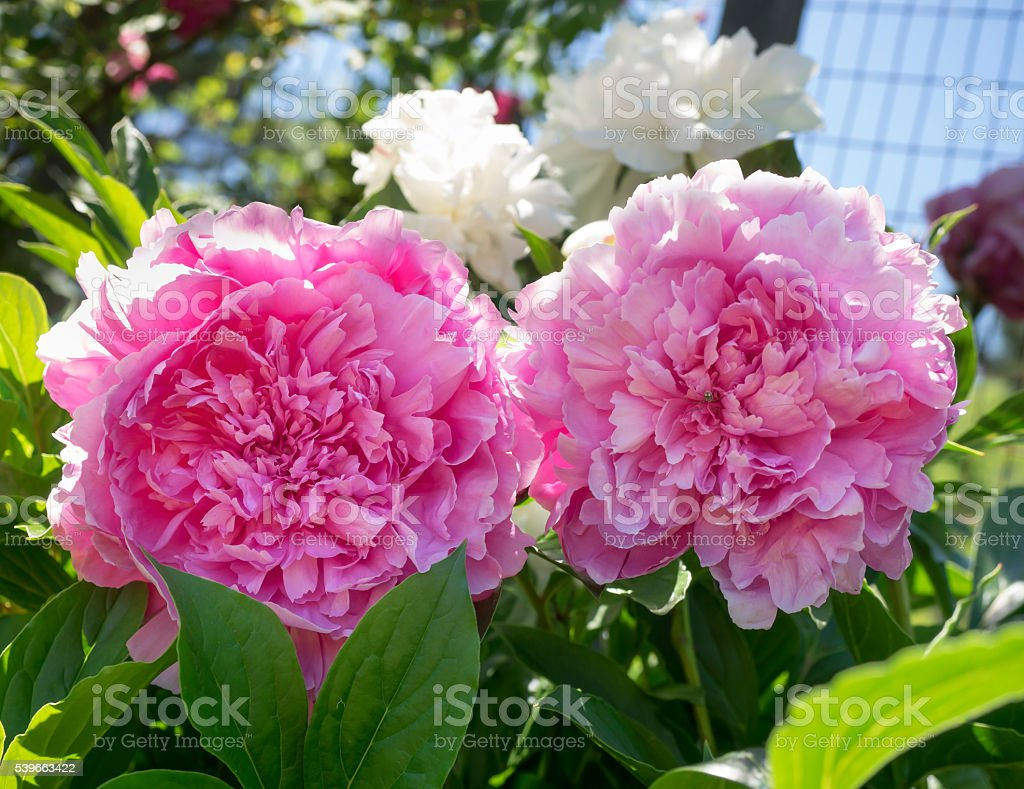 Two Pink Peony Flowers stock photo
