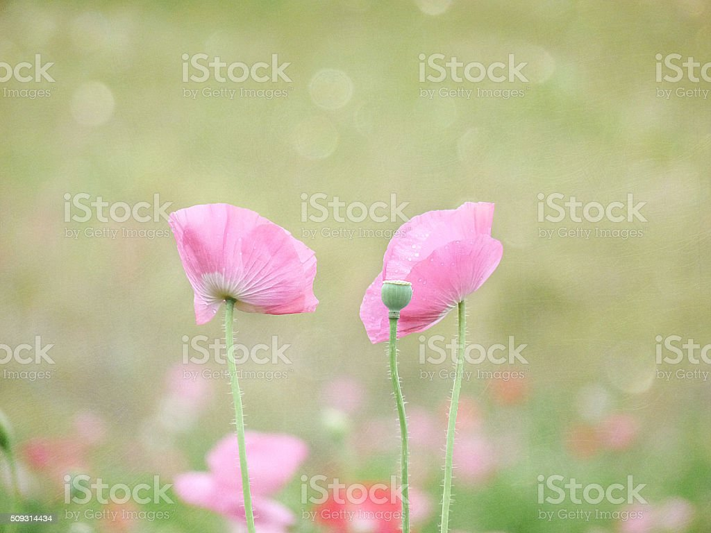 Two Pink Poppy Flowers Stretch above a dreamy bokeh meadow stock photo