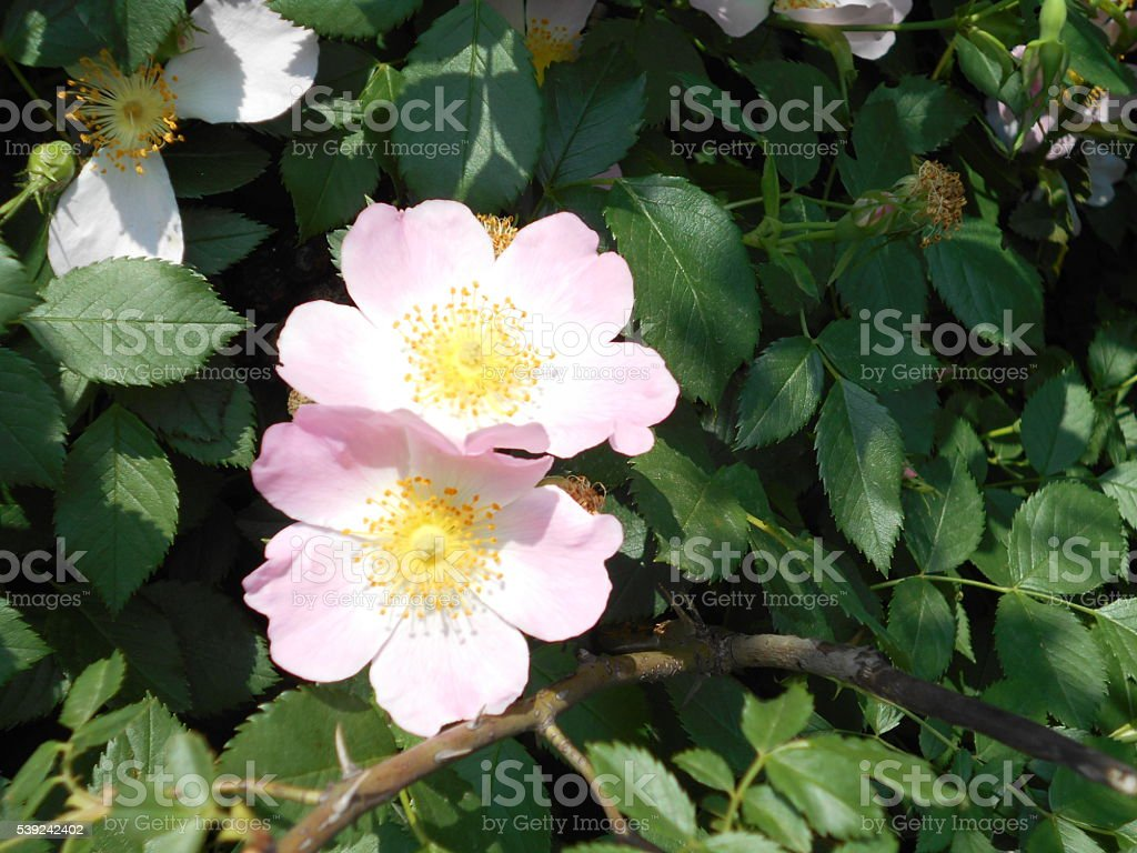 Two pink rose flowers stock photo