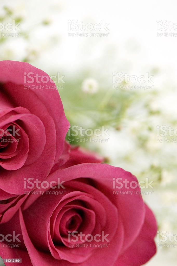Two Pink Roses royalty-free stock photo