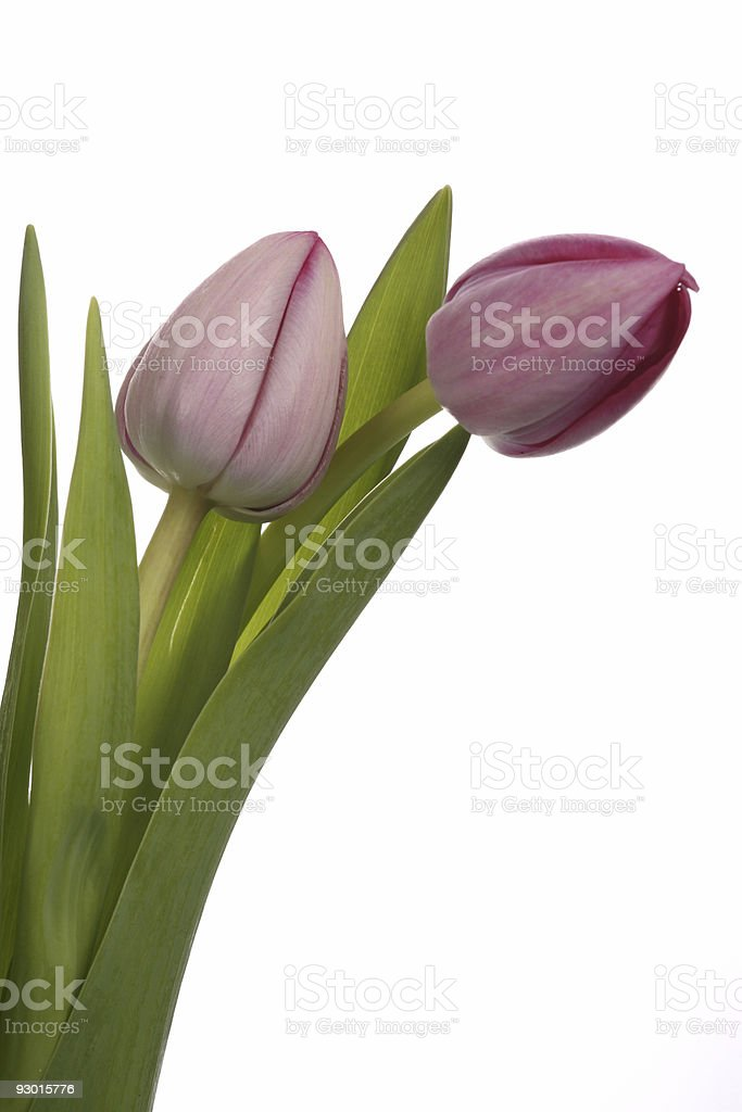 Two Pink Tulips stock photo