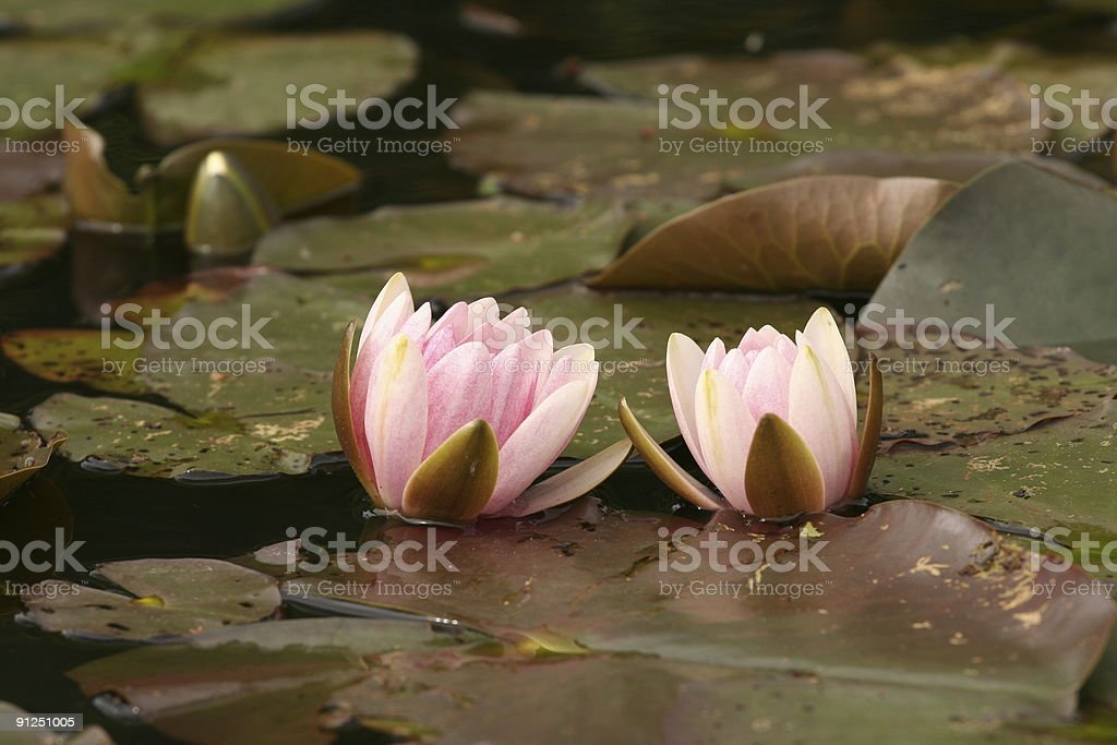 Two pink waterlilys close together royalty-free stock photo