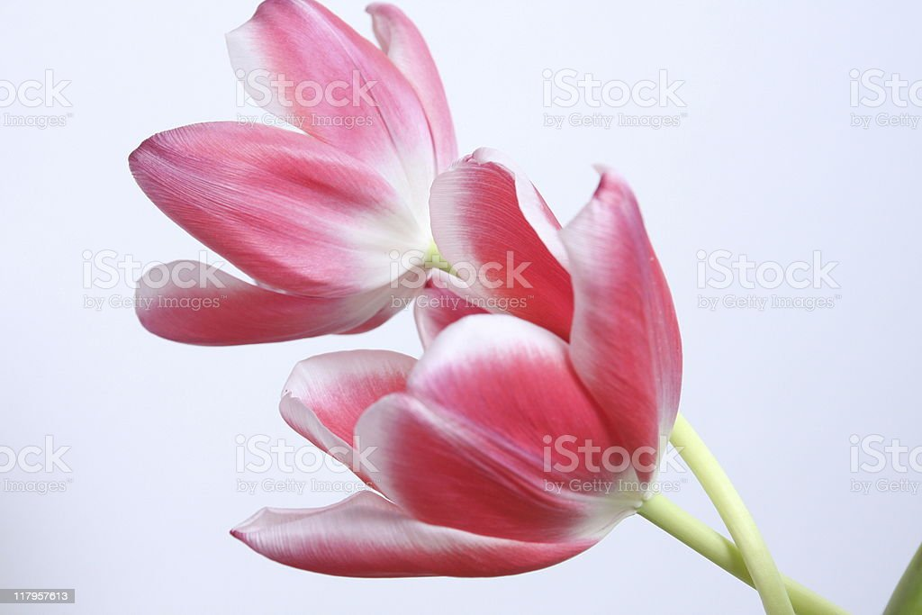 Two Pink & White Tulips Intertwined royalty-free stock photo