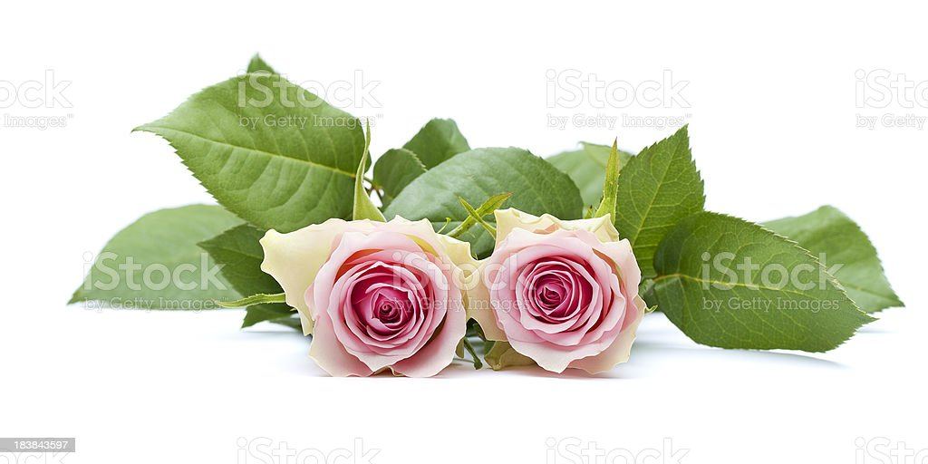 Two pink-yellow roses with leaves royalty-free stock photo