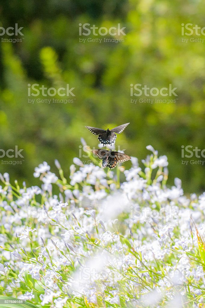 Two Pipevine Swallowtails Flying Above White Flowers stock photo