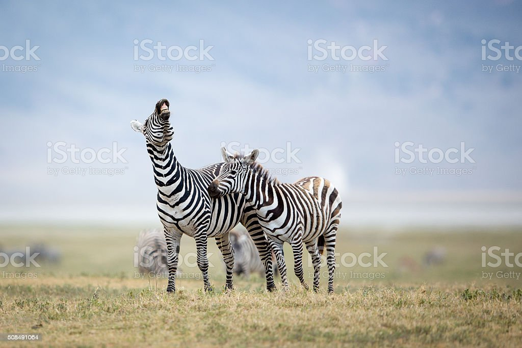 Two Plains Zebra fighting in the Ngorongoro Crater, Tanzania stock photo