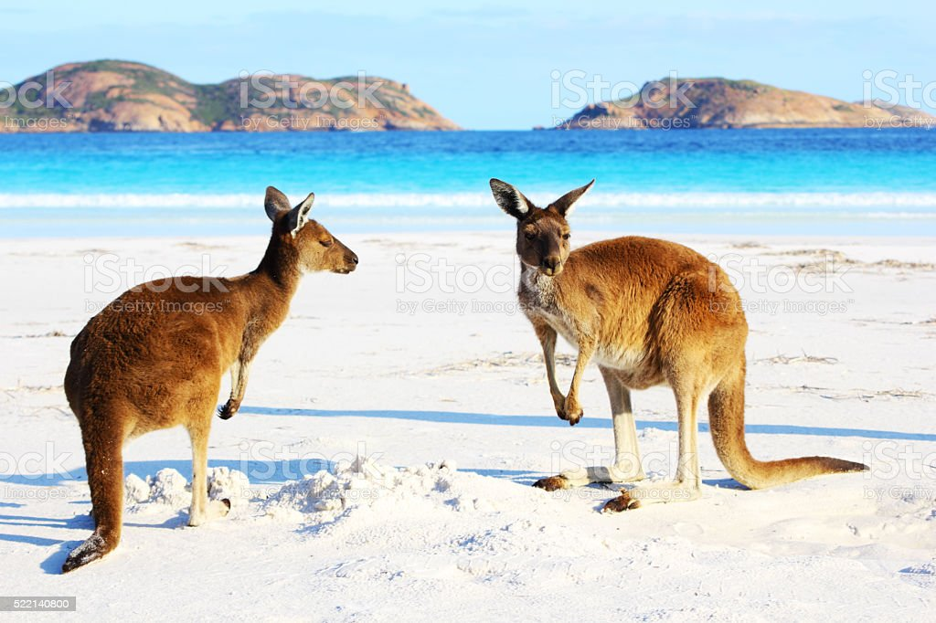 Two Playful Kangaroos relaxing on Beach, Cape Le Grand stock photo