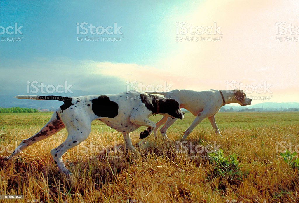 Two pointer dogs in a meadow with sky on background stock photo