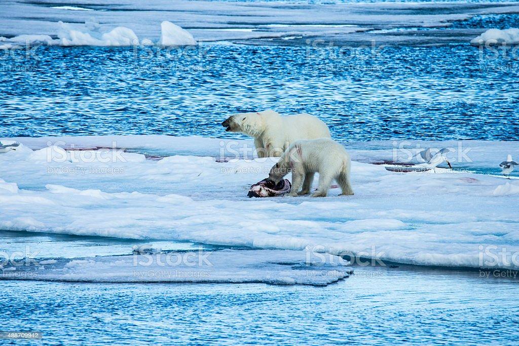 Two polar bears eating a killed seal stock photo