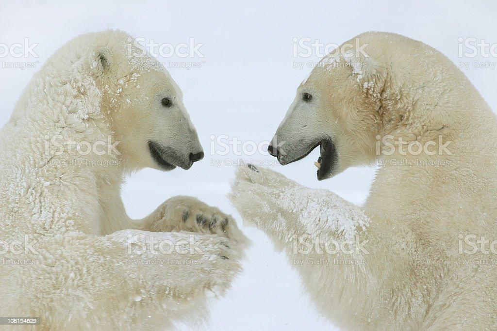 Two polar bears face off in Hudson Bay winter snow stock photo