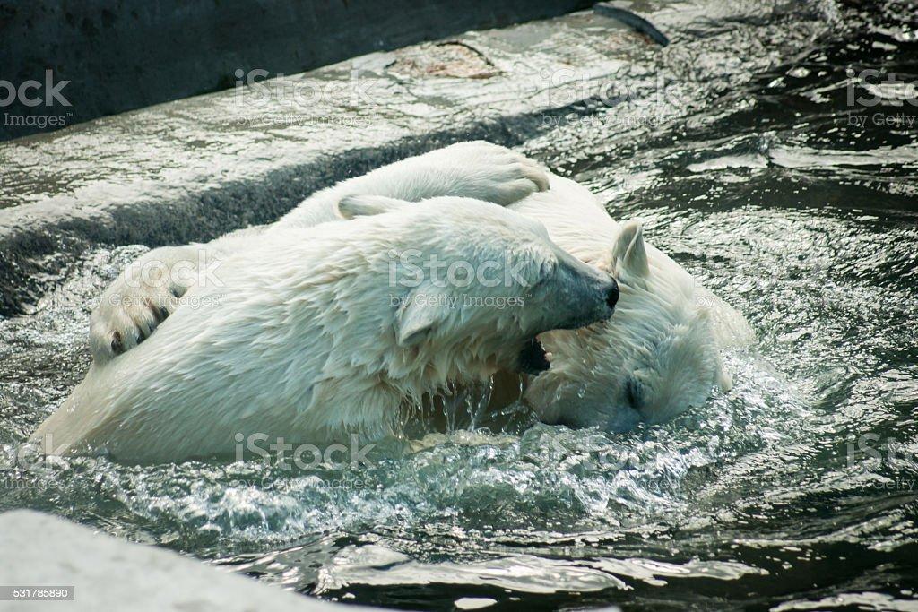 Deux ours polaires fighting photo libre de droits