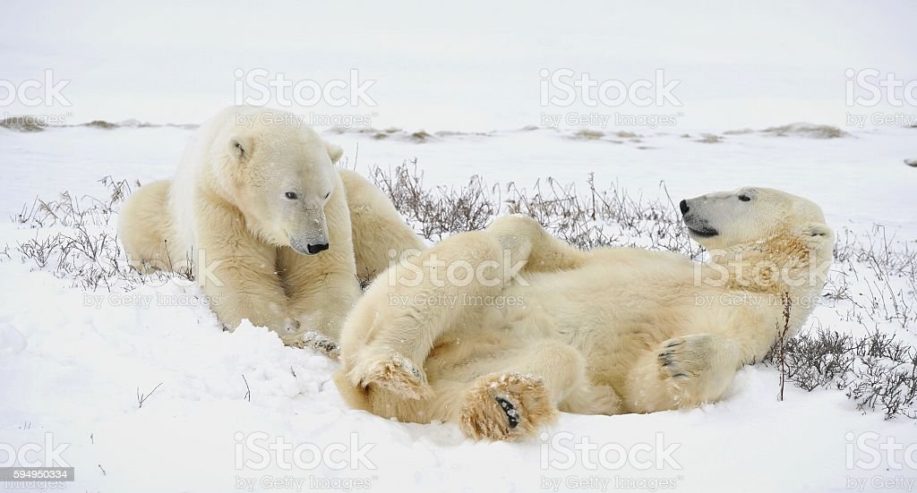 Two polar bears have a rest. stock photo