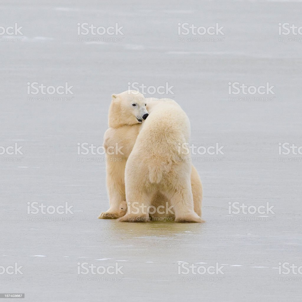 Two polar bears hugging. royalty-free stock photo