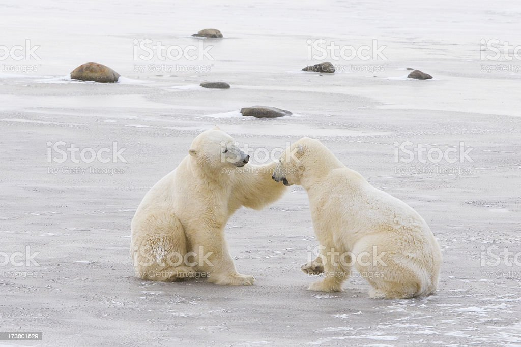 two polar bears interacting. royalty-free stock photo