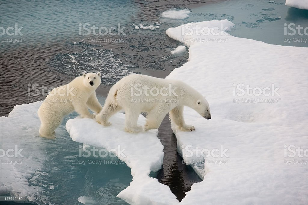 Two polar bears on a small ice floe in the water stock photo