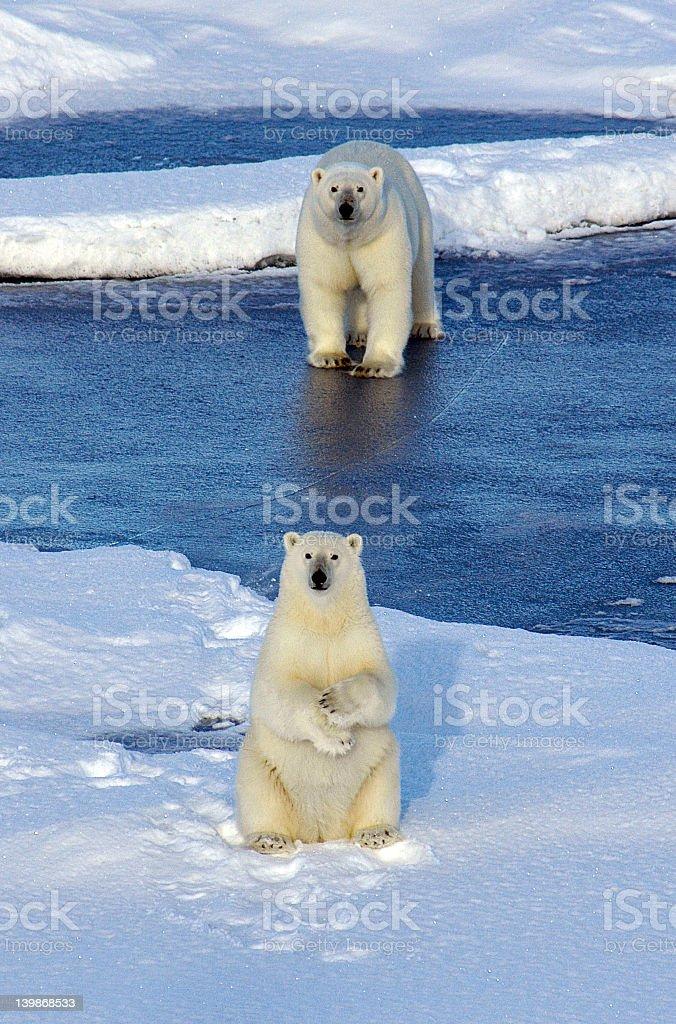 Two polar bears on a snowy landscape stock photo