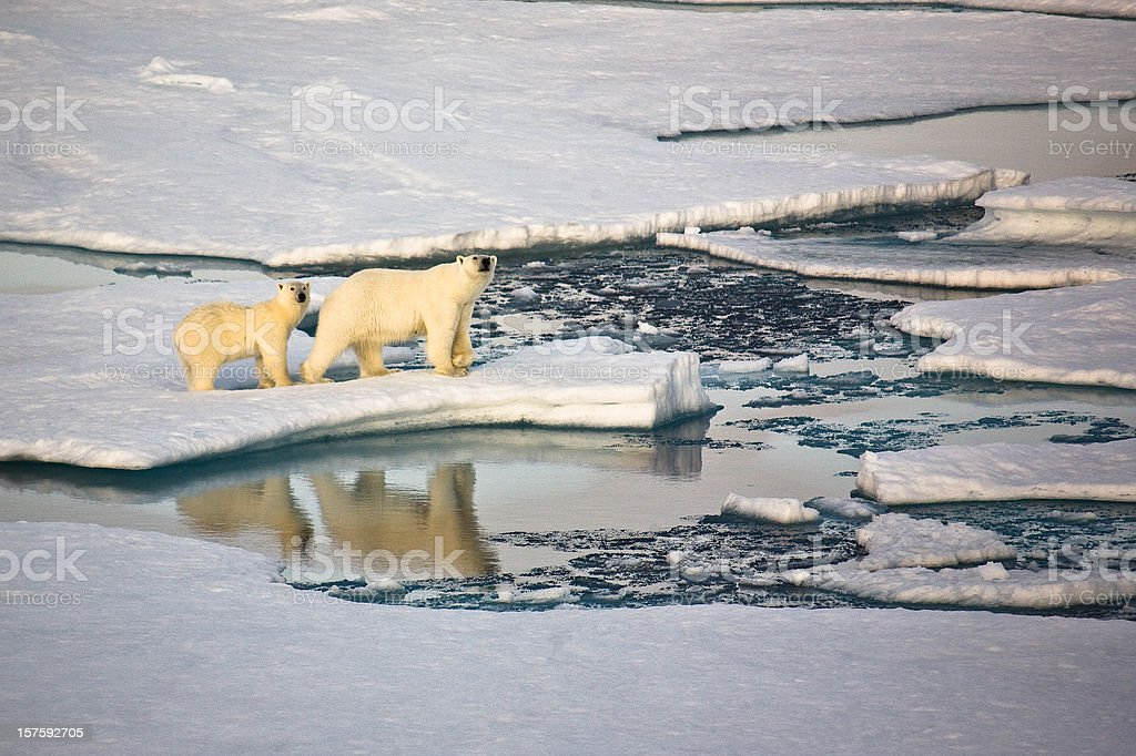 Two polar bears on pack ice royalty-free stock photo