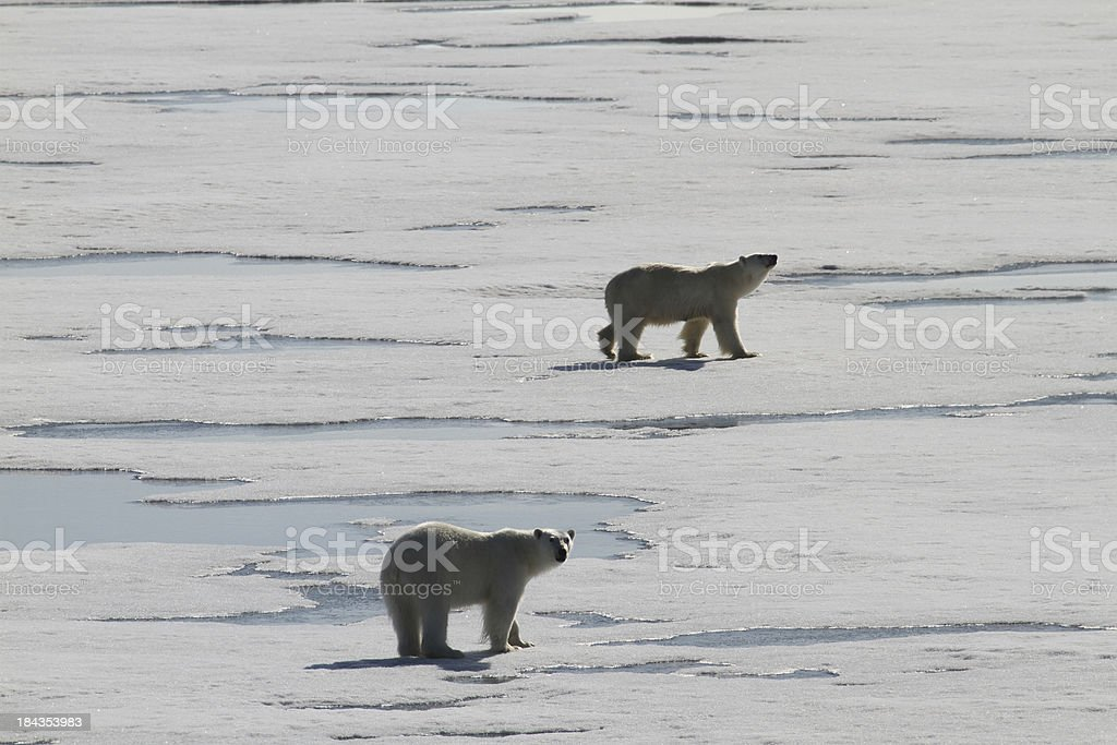 Two polar bears on pack ice stock photo