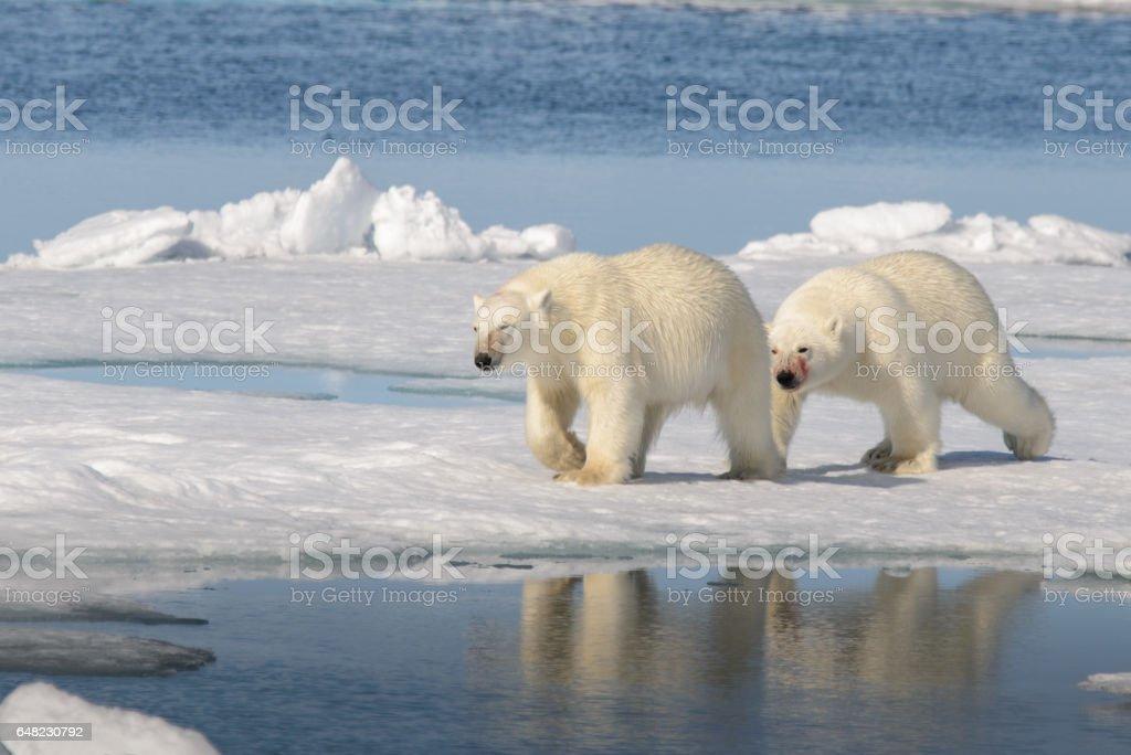 Two polar bears on the ice stock photo