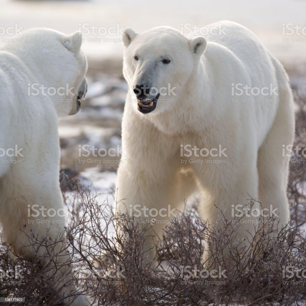 Two Polar Bears stock photo