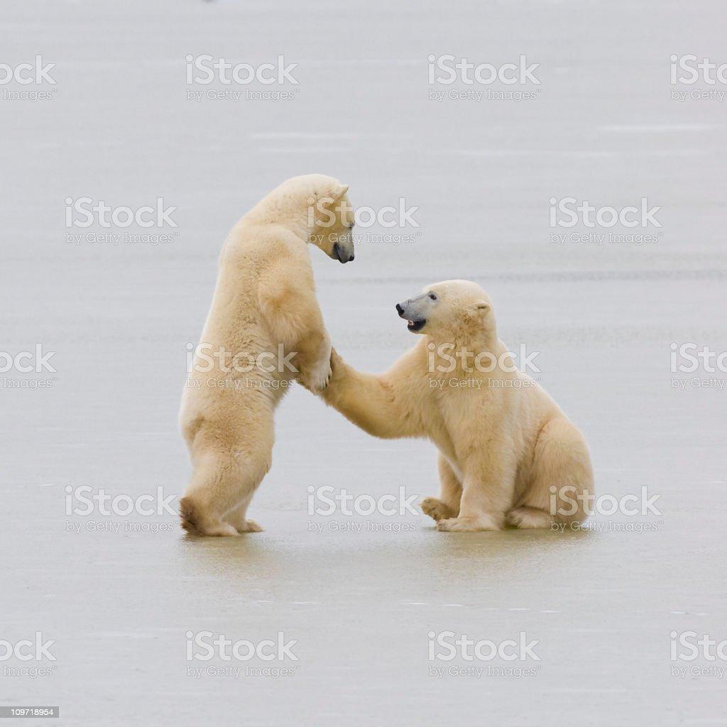 Two polar bears. stock photo
