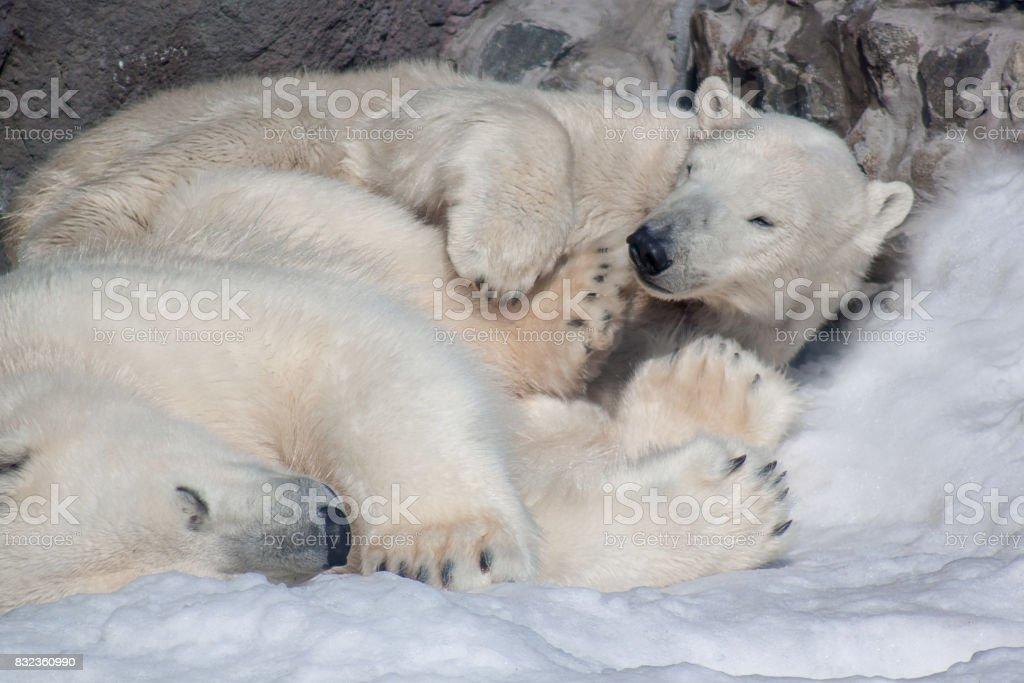 Two polar bears sleeping on white snow. stock photo