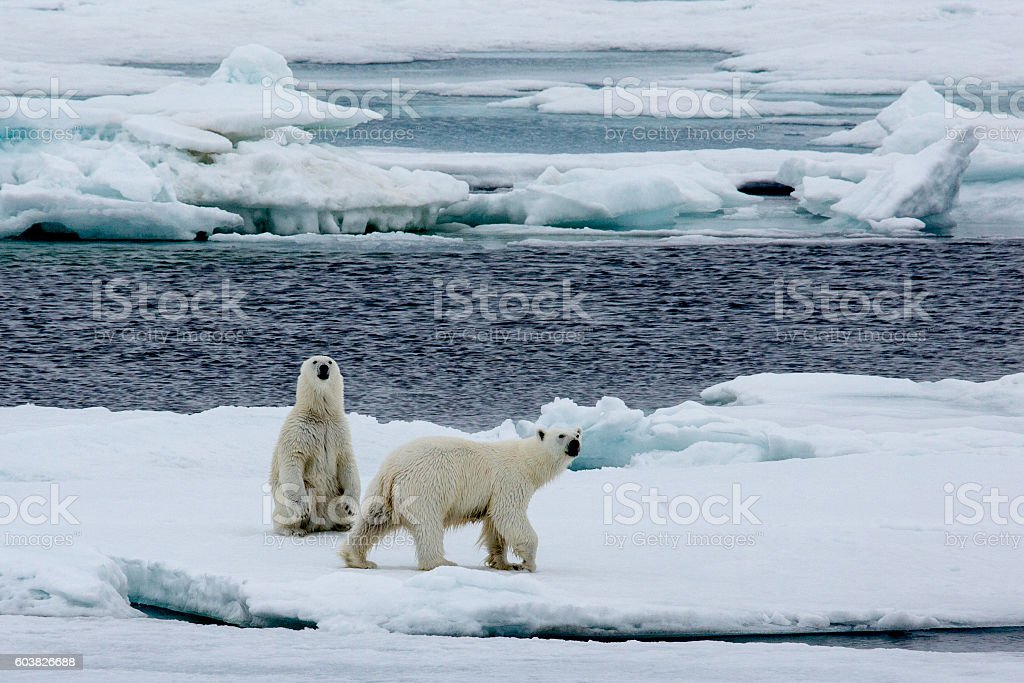 Two polar bears walking on pack ice. stock photo