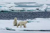 Two polar bears walking on pack ice.