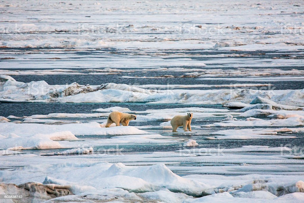 Two polar bears walking on pack ice. stock photo
