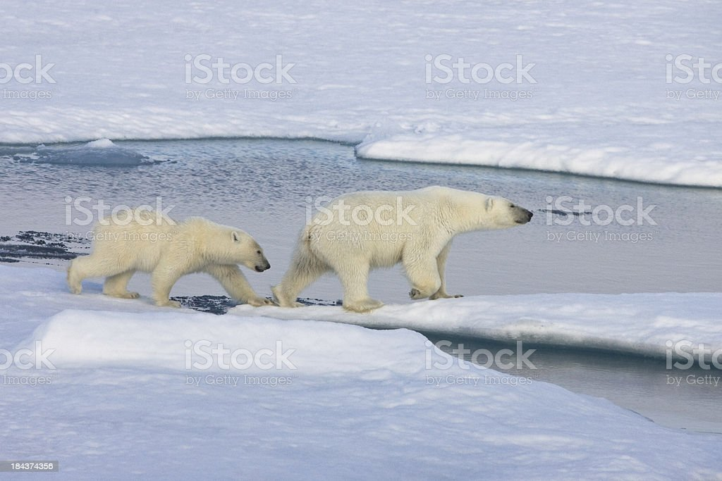 Two polarbears on pack ice stock photo