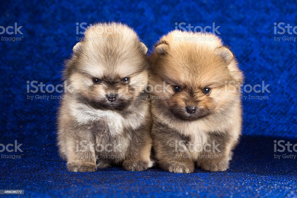Two Pomeranian puppies over blue background stock photo