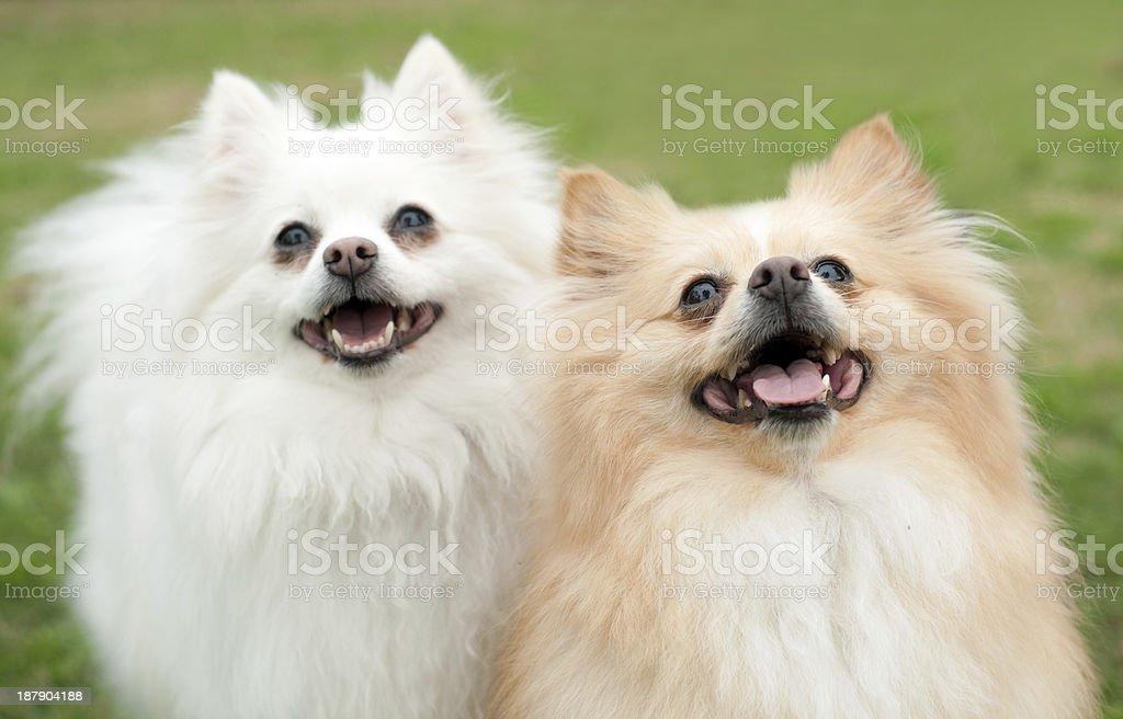 Two Pomeranians Smiling royalty-free stock photo