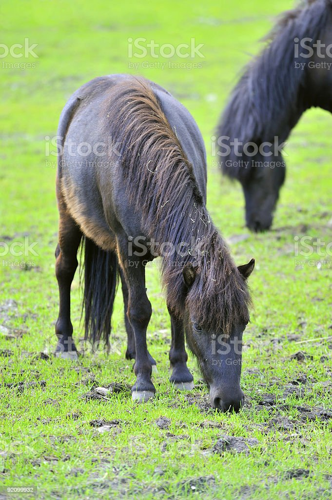 Two ponies are grazed on a meadow royalty-free stock photo