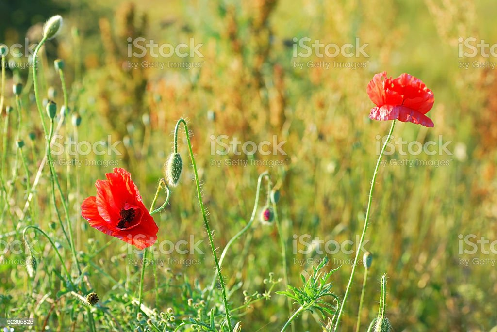 Two poppies royalty-free stock photo