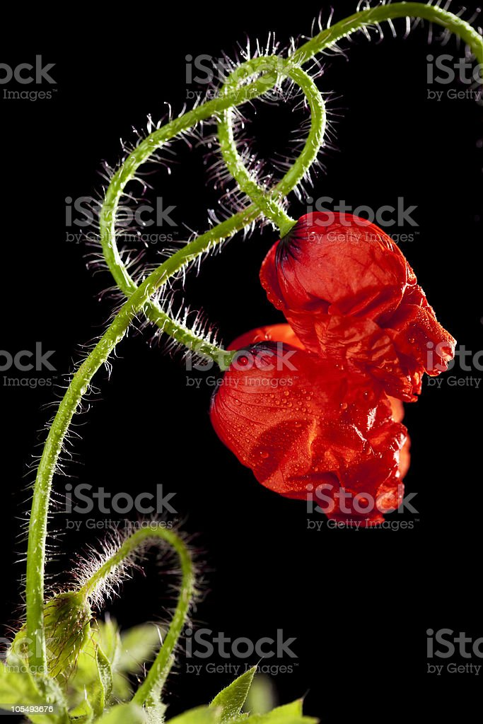 two poppy flowers entwined stock photo